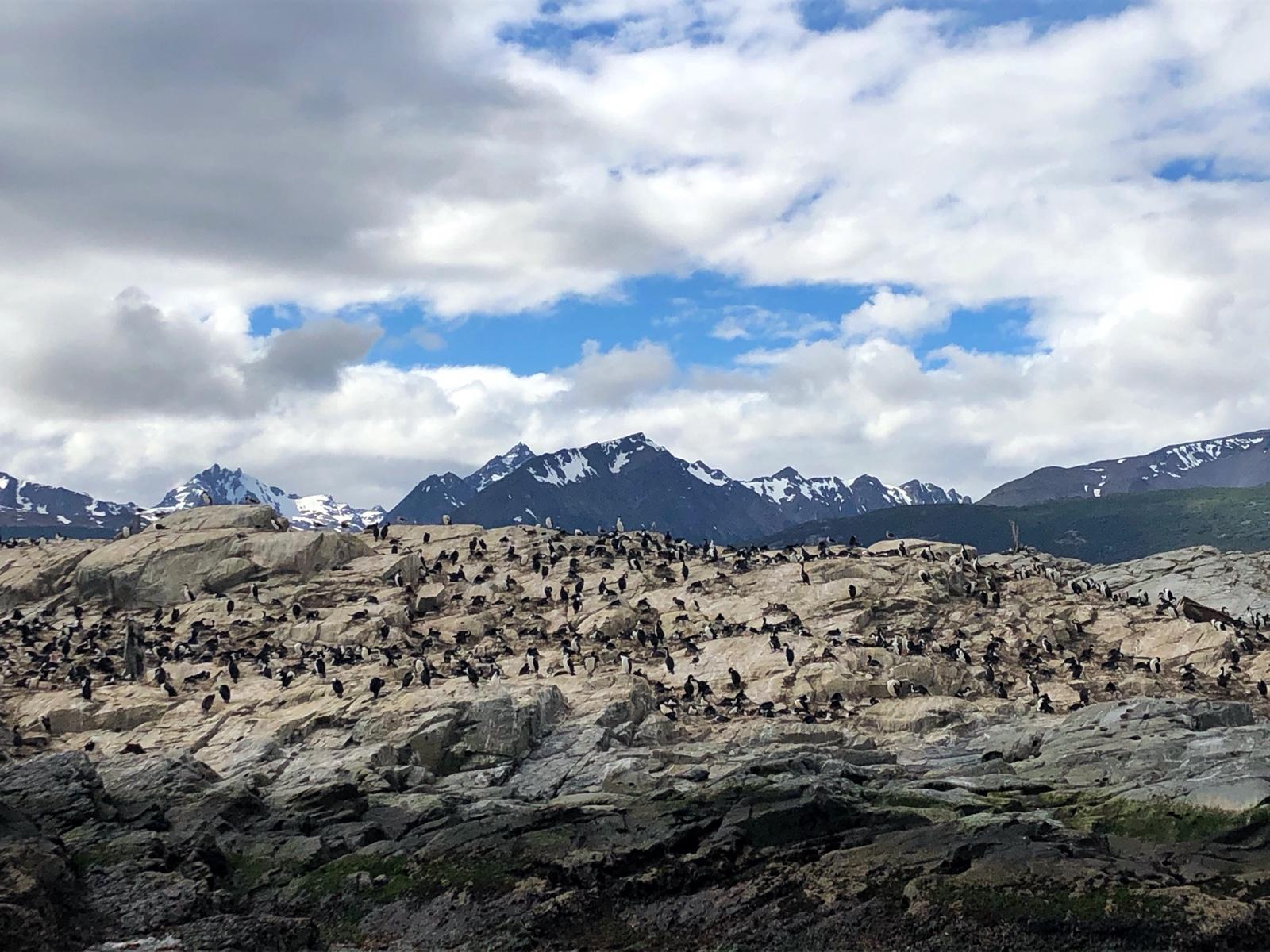 Keine Pinguine sondern eine Kolonie von Kormoranen