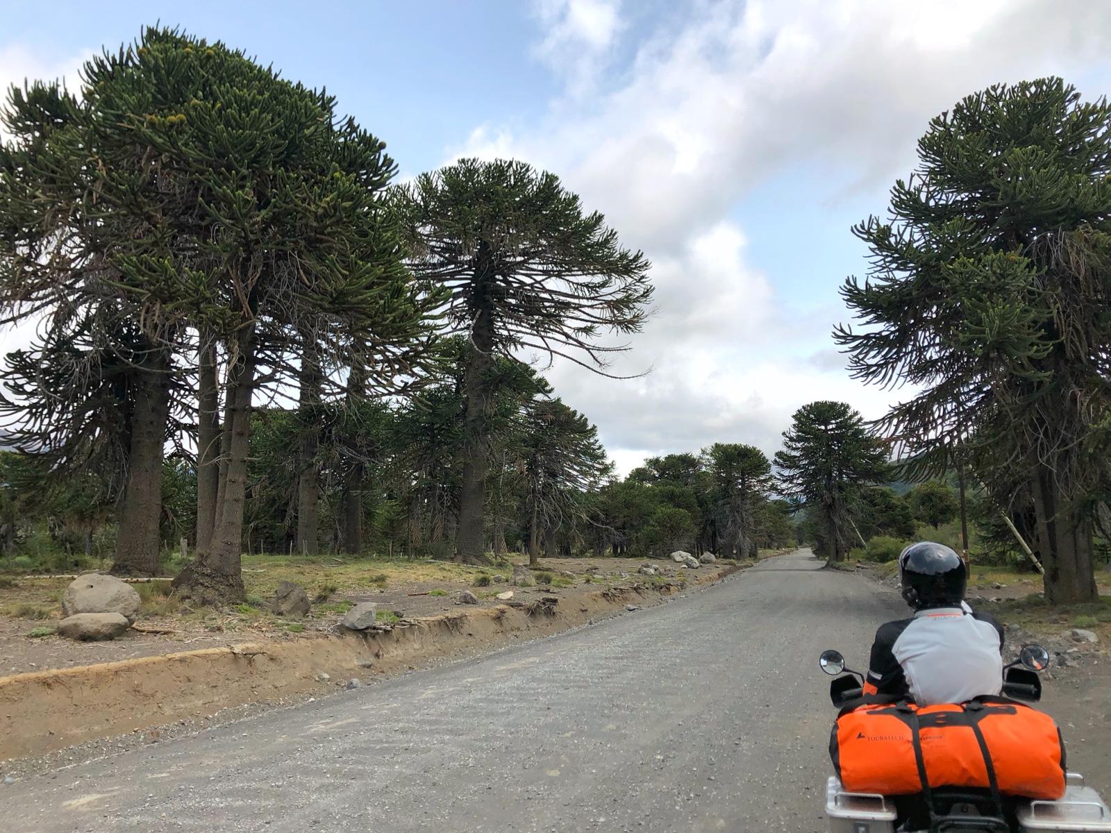 Fahrt durch die Auracaria Wälder
